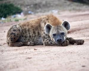 Hyena in the Wild