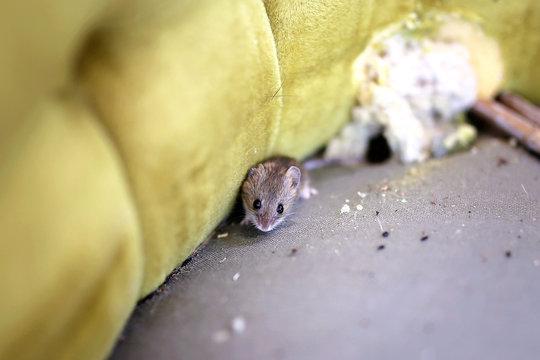Little Grey House Mouse Living Inside Old Chiar