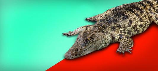 Poster Crocodile crocodile retile animal on isolated background