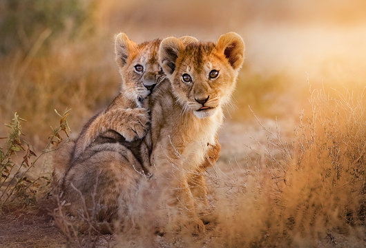 lion cubs playing in the savannah