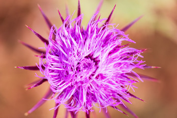 Thistle blooms in the top of the mountains, sunlight color, Close Up