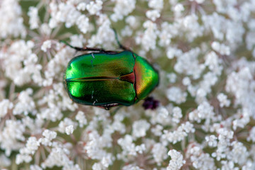Beetle green rose chafer collects nectar on rowan flowers, close up