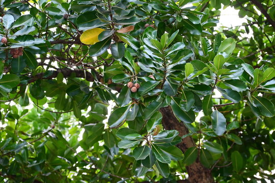 Calophyllum Inophyllum, with bright green leaves and a green, round fruit. Ripe fruit is brown on the tree. Bornero mahogany is a popular perennial plant. The oil can be extracted as an analgesic and