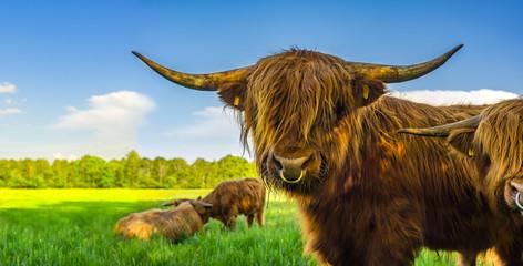 Galloway Rinder auf der Weide in artgerechter Haltung Bio Fleisch
