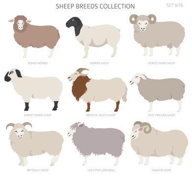 Sheep breeds collection 6. Farm animals set. Flat design
