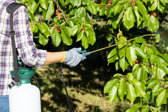 Spraying fruit tree with homemade organic pesticide or insecticide