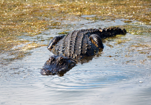 An alligator swimming in a pond looking for a meal.