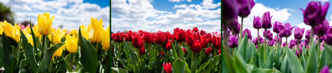 collage of colorful red, yellow and purple tulips against blue sky and clouds, panoramic shot