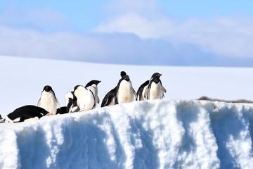 Adelie penguins (Hope Bay, Antarctica)
