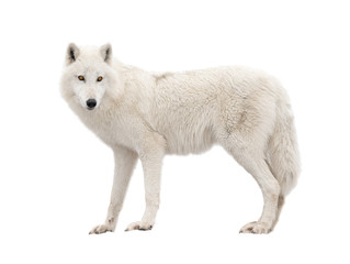 Photo sur Plexiglas Loup Polar wolf isolated on a white background.