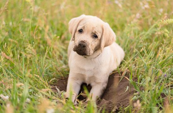 Dirty Labrador retriever puppy relaxing after dig