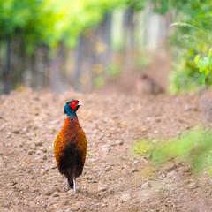 Male pheasant at a vineyard in Burgenland