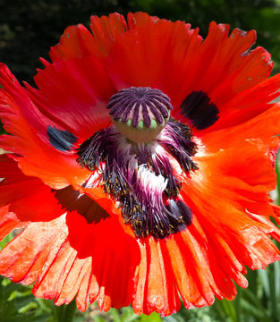 Reproductive Organs of the Poppy
