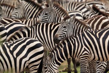 Wall Murals Zebra Stripes in the Savannah grassland, Masai Mara