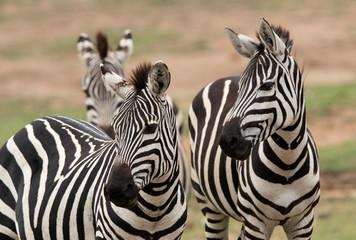 Foto op Aluminium Zebra Closeup of a pair of Zebras, Masai Mara, Kenya