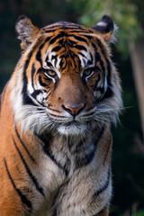 Portrait of Sumatran Tiger with a menacing stare.