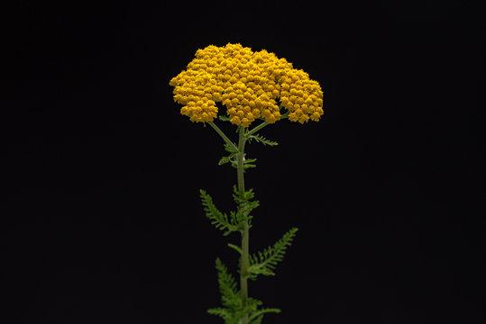 Yarrow Yellow Flowers