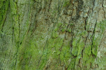Fototapeta kora starego drzewa obraz