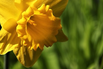 Canvas Prints Narcissus close up yellow narcis