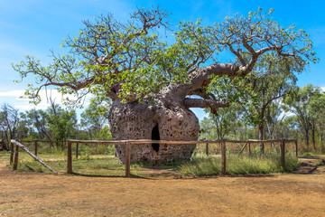 Boab Prison Tree near Derby in Western Australia.