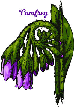 Comfrey or comphrey, blackwort, common comfrey, slippery root vector illustration. Quaker-comfrey, cultivated boneset, knitbone, consound, and slippery-root used in cosmetics and medicine