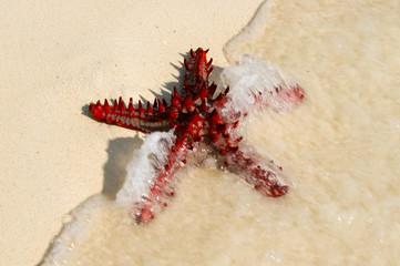 Zanzibar Tanzania 14/08/2010:  Horned Sea Star