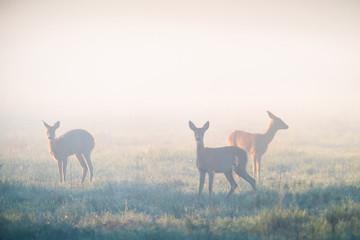 Photo sur Aluminium Roe Roe deers in fog