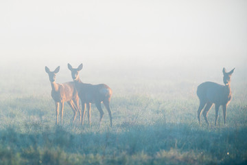 Papiers peints Roe Deers in foggy morning