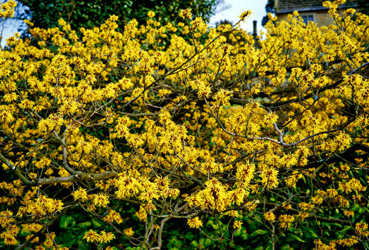 Hamamelis x intermedia Pallida in a country garden