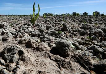 A corn sprout is seen among dry earth in a field belonging to Belgian farmer Joel Van Coppenolle in Diksmuide