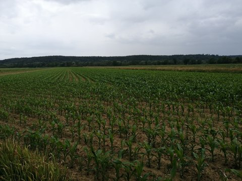 young   plant  MAIZE-FIELD