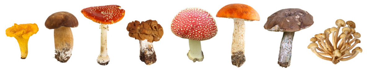 Obraz collage of edible and poisonous mushrooms in Central Russia - fototapety do salonu