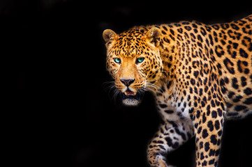 Photo sur Aluminium Leopard Leopard on black background, beautiful portrait. Animal world. Big cat.