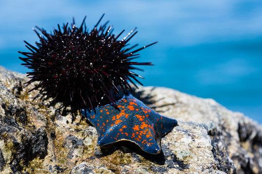 Live sea urchin and star sky