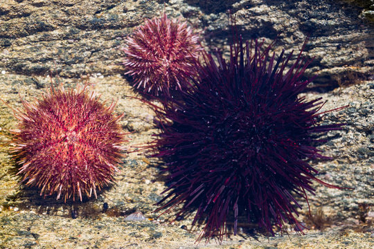 Black and gray sea urchins in water