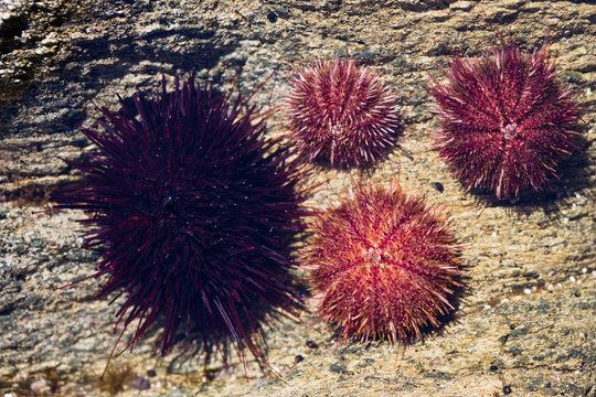 Live black and gray sea urchins