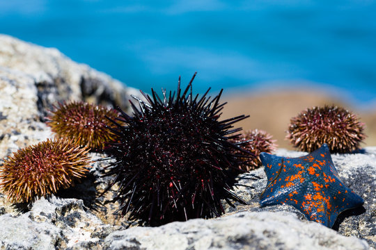 Live sea urchins and star
