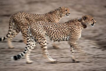 Wall Mural - Two of the five Cheetah group one with gps tracking collar, Masai Mara