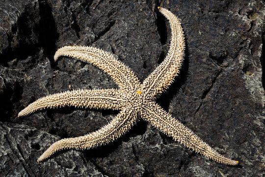 Living starfish on a rock
