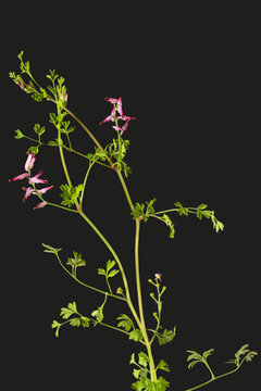 Flowers and foliage of common fumitory Fumaria officinalis.