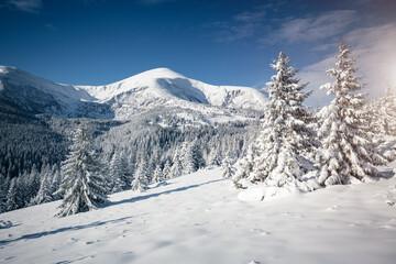 壁紙(ウォールミューラル) - Vivid white spruces on a frosty day. Location Carpathian mountain, Ukraine, Europe.