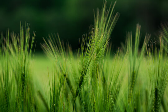 Getreide Weizen Gerste Roggen Gras Feld Acker Landwirtschaft Ähren Gräser