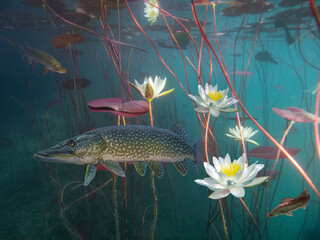 Photo sur Aluminium Nénuphars Pike betwen water lilies in lake Bled