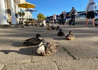 Ducks sit near a queue of people maintaining social distancing as they wait to pick up fish and chips, following the outbreak of the coronavirus disease (COVID-19), in Swaffham
