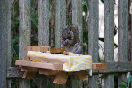 A gray squirrel eating at a backyard wooden picnic table for squirrels and birds mounted on a garden fence