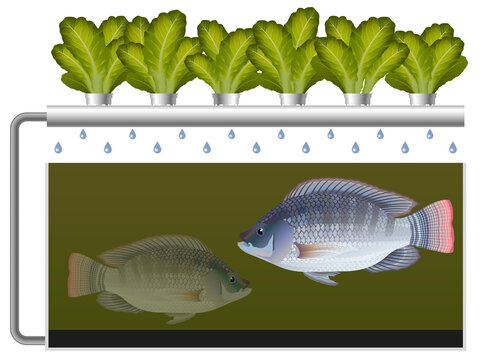 Aquaponics system with tilapia fish and lettuce