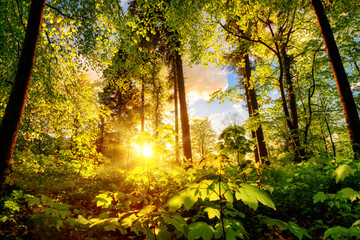 Luminous scenery in a forest clearing or park, with the foliage nicely illuminated by the warm sunset light