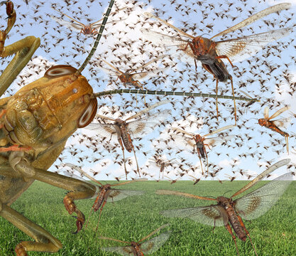 Migratory locust swarm. Locusta migratoria. Acrididae. Oedipodinae. Agriculture and pest control