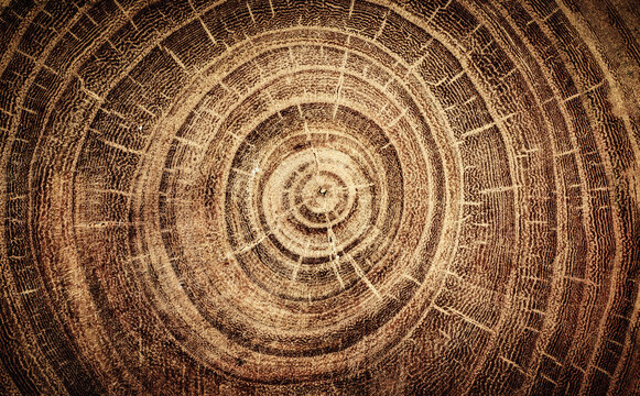 Sawed oak tree close up. Macro shot of oak tree rings on wood slice. Oak old wood background.