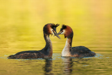 Waterfowl bird pair of great crested grebe on the lake Fotomurales